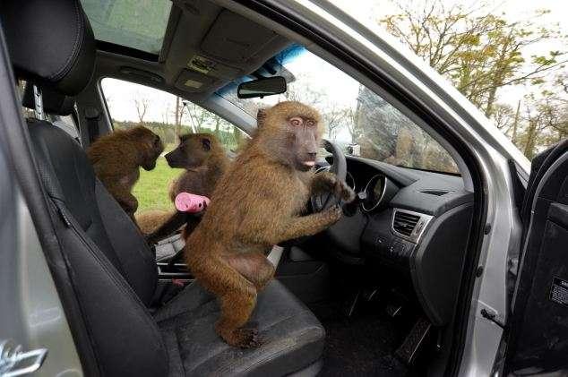 Monos en un coche